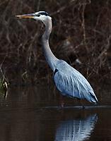 Adult great blue heron