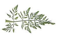 Wilde Möhre, Möhre, Daucus carota, Daucus carota subsp. carota, Wild Carrot, Carrot, bird's nest, bishop's lace, Queen Anne's lace, La carotte sauvage. Blatt, Blätter, leaf, leaves