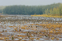 William L. Finley National Wildlife Refuge, Oregon.  Winter.  Ducks and geese using wetland pond.
