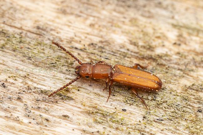 Parasitic Flat Bark Beetle (Catogenus rufus)