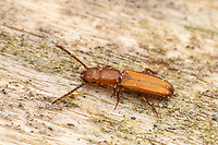 Parasitic Flat Bark Beetle (Catogenus rufus)