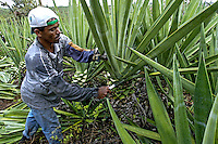 Colheita de sisal em Valente. Bahia. 2004. Foto de Ubirajara Machado.