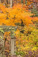 Acer japonicum with Acer griseum, trellis in autumn fall foliage color