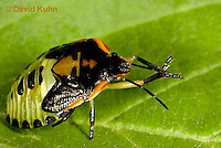 0109-0915  Green Stink Bug Nymph (Middle Instar with Several Missing Forelegs), Acrosternum hilare  © David Kuhn/Dwight Kuhn Photography
