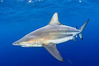 blacktip shark, Carcharhinus limbatus, Jupiter, Florida, USA, Atlantic Ocean