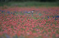Scissor-tailed Flycatcher, Tyrannus forficatus, female in flight over field of  Wildflowers, Natalia, Texas, USA