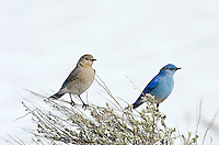 Mountain Bluebird (Sialia currucoides) male and female sitting on sagebush near late melting snowbank.  Western U.S., Spring.