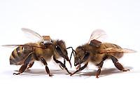 The microchips are used by researchers to mark the bees and  identify them by a scanner at the entrance to the hive or near the sugar distributors. It is thus possible to monitor the bee's activities on an individual level, such as the hours they leave the hive. <br /> Les puces électroniques sont utilisées par les chercheurs pour marquer les abeilles et les identifier par scanner à l'entrée de la ruche ou alors près des distributeurs de sucre. Il est ainsi possible de suivre les activités des abeilles au niveau individuel. Leurs heures de sorties…