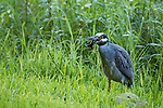 Damon, Texas; a yellow-crowned night-heron with a crawfish in its beak while standing at the edge of the slough at dusk