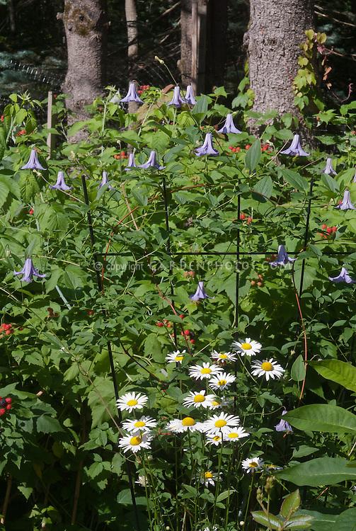 Clematis Betty Corning perennial climbing flowering vine in bloom, blue lavender bell like flowers 'Betty Corning' C. crispa x C. viticella with Leucanthemum, and black raspberries Rubus