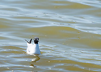 Bonaparte's Gull, Larus philadelphia, swimming at Tule Lake National Wildlife Refuge, Oregon