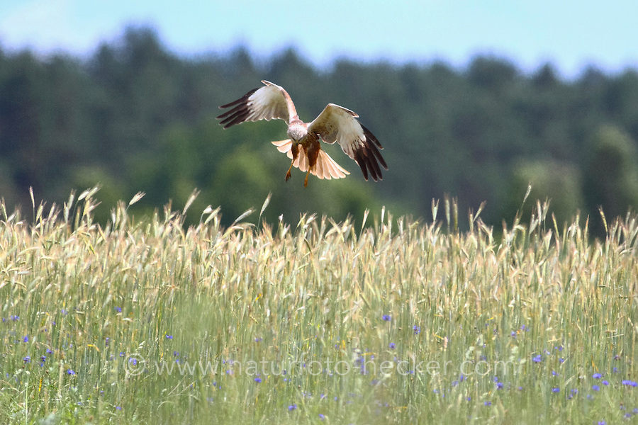 Rohrweihe, Männchen, Rohr-Weihe, im Flug über einem Getreidefeld, Acker, Feld, Flugbild, fliegend, Weihe, Weihen, Circus aeruginosus, Western Marsh-harrier, Eurasian Marsh-harrier, Marsh harrier, male, flight