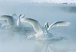 Asia, Japan, Hokkaido, Akan NP, Kussharo Lake, Whooper Swan (Cygnus cygnus)
