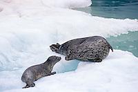 Harbor seal mother with pup (Phoca vitulina), Alaska.