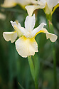 Iris 'Butter and Sugar', mid May. A Siberian iris with narrow, leaves and stems to 80cm, bearing two white flowers, the standards with a yellow sheen, the falls flushed lemon yellow towards the centre.