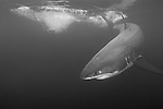 Guadalupe Island, Baja California, Mexico; a large, adult male Great White Shark (Carcharodon carcharias) circles the bait of Yellowfin Tuna near the water's surface