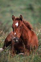 A colt rests in a grassy meadow.