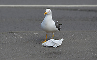 A seagull with a Greggs paper bag in its beak in Swansea, Wales, UK. Tuesday 02 May 2017