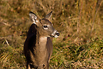 White-tailed fawn in fall
