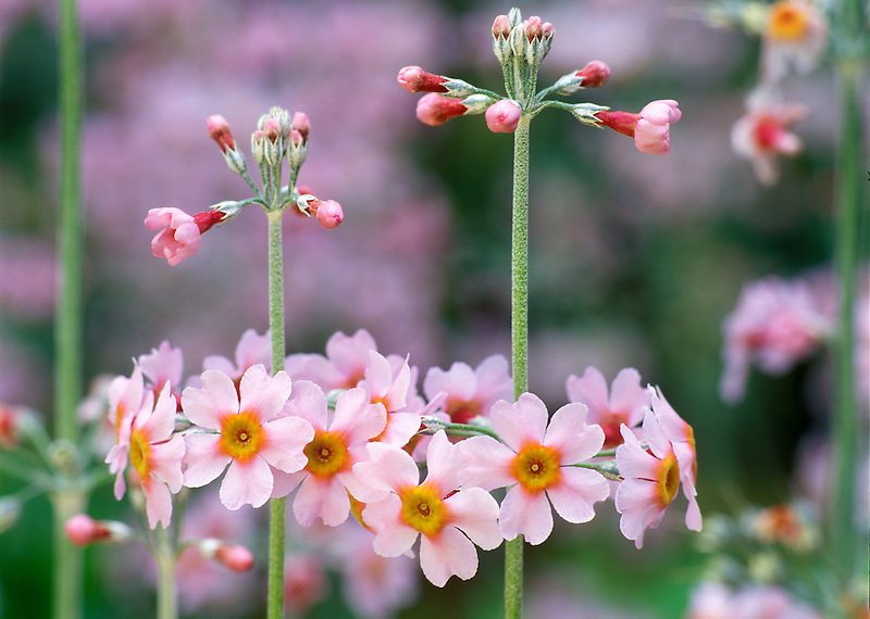Primrose (Primula pulverulenta) Rhododendron Species Botanical Garden, Washington