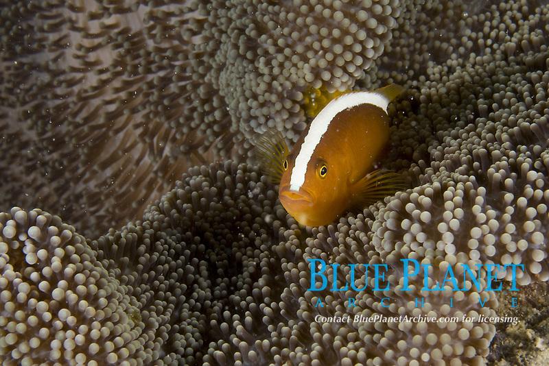 Orange Anemonefish, Amphiprion sandaracinos, Mabul Island, Malaysia.