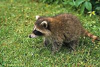 MA25-221z   Raccoon - young raccoon exploring - Procyon lotor