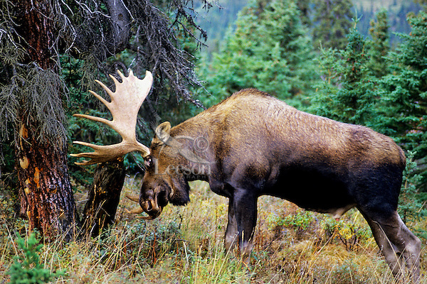 Bull moose (Alces alces) thrashing tree with antlers during fall rut.  Alaska.