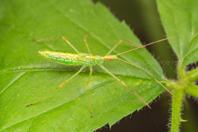 Pale Green Assassin Bug (Zelus luridus) - Nymph
