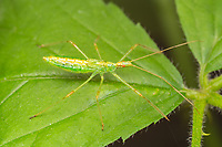 Pale Green Assassin Bug (Zelus luridus) - Nymph