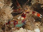 Banded Coral Shrimp w-Eggs