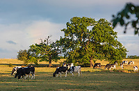 Dairy cows grazing in evening light, Cheshire.