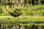 Damon, Texas; a little blue heron landing with wings spread while a tricolored heron forages for food on a bed of water hyacinth floating on the surface of the slough in late afternoon sunlight