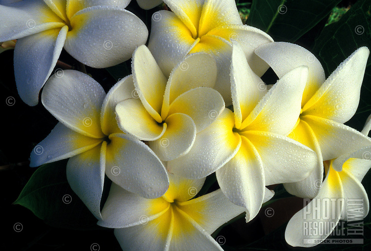 Lovely and fragrant plumeria flowers, also known as frangipani apocynaceae, are found throughout the Hawaiian islands. This group of luscious large white blossoms with a burst of yellow at the center and set against green tropical leaves are also kn