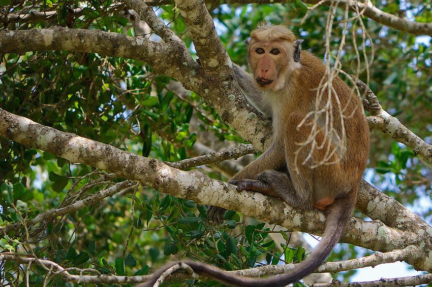 Monkey, Yala National Park Sri Lanka