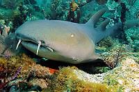 Nurse Reef, nurse shark, Ginglymostoma cirratum, Florida, Atlantic