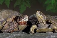 Fine friends-- Two Box turtles-- male and female- meet as the evening light falls, Missouri USA