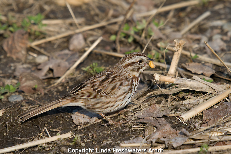 Song sparrow eating bits of corn