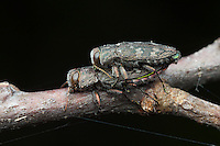 A pair of Metallic Wood-boring Beetles (Chrysobothris rugosiceps) mate on a branch of a fallen oak tree.