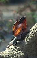 The frill-necked lizard (Chlamydosaurus kingii), also known as the frilled lizard or frilled dragon, is found mainly in northern Australia and southern New Guinea.