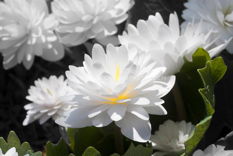 Glowing flower, double Bloodroot (Sanguinaria canadensis 'Plena' aka 'Multiplex')