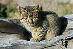 Domestic Cat (Felis catus) kitten, Ciudad de Piedra, Andes, western Bolivia
