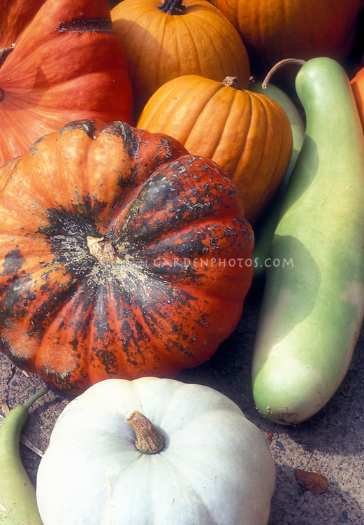 Variety of pumpkin and squashes, including white pumpkin, green Louisiana Long squash, antique heirloom Rouge d'Etampes