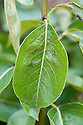 Pear leaf blister mite - early stages. Microscopic mites (Eriophyes pyri) live within  the tissue of the tree's leaves, releasing a damaging toxin as they feed. Initially, pink or yellow-green blisters appear on the leaves, either side of the central rib. These turn darker as the summer progresses.