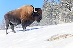 Male American bison (Bison bison). Hayden Valley, Yellowstone National Park, Wyoming, USA.