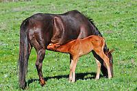 Brand new foal nursing its mother near Cut Bank Creek Blackfeet Reservation