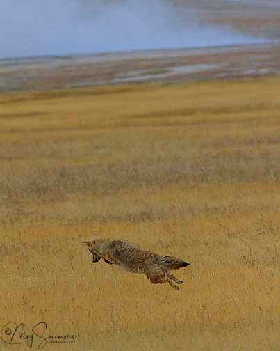 When you are watching a coyote (Canis latrans) looking for mice, watch the tail. It will go straight out just before he jumps.<br /> Here the coyote is mousing in the Fountain Flats thermal area north of Old Faithful, Yellowstone.
