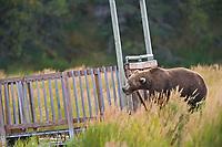 Brown bear chews on the wooden bridge crosses the Brooks River, Katmai National Park, southwest, Alaska.