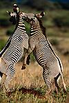 Grevy's zebras, Samburu National Reserve, Kenya
