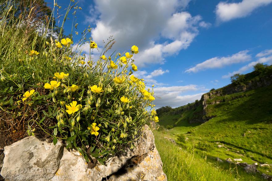 Common Rockrose {Helianthemum nummularium} growing on an outcrop of carboniferous limestone. Lathkill Dale NNR, Peak District National Park, UK. June.