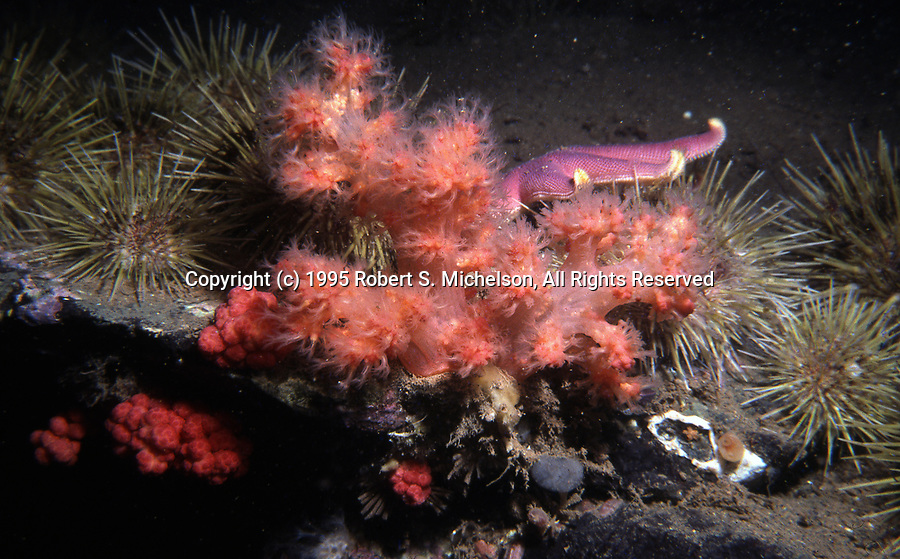 Red or Branching Soft Coral